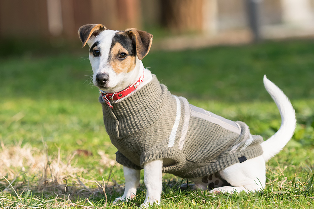 dog sweater with good fit on cool day